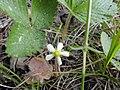 Земляника лесная (Fragaria vesca) f013.jpg