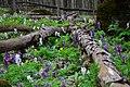 """Квітневий квітковий килим в урочищі """"Зіньків камінь"""".jpg"""