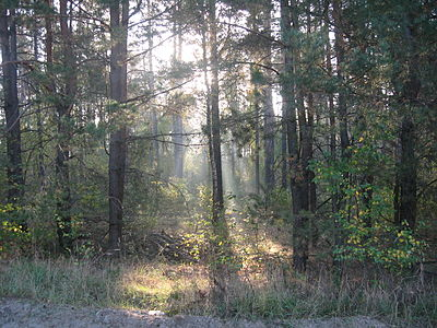 Ранок у сосновому лісі.JPG