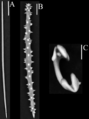 Спикулы Grayella pyrula (Porifera).png