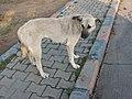 Турция (Türkiye), провинция Текирдаг (il Tekirdağ) (Avrupa Otoyolu), торговый миницентр Metro, собака, 18-22 16.09.2008 - panoramio.jpg
