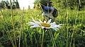 Цветок ромашки - panoramio.jpg