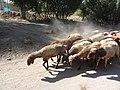 گله گوسفند - روستای قلعه اجل بیک - تویسرکان - panoramio.jpg