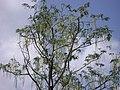 அகத்திக்கீரை மரம் 4.JPG