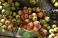 มะเดื่ออุทุมพร Ficus racemosa L (6).jpg
