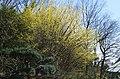 サンシュユ(山茱萸) 花の文化園にて Asiatic dogwood 2014.4.01 - panoramio.jpg