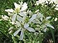 小木通 Clematis armandii -波蘭華沙 Powsin PAN Botanical Garden, Warsaw- (36645982025).jpg