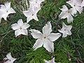 尖葉石竹 Dianthus spiculifolius -比利時 Ghent University Botanical Garden, Belgium- (9229880046).jpg