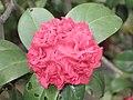 山茶花 Camellia japonica hybrid -香港禮賓府 Hong Kong Government House- (9207617852).jpg