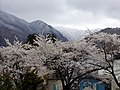 川桁の桜 - panoramio.jpg