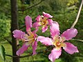 木棉科植物 Bombacaceae Plant - panoramio.jpg