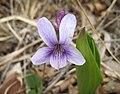 東北堇菜(紫花地丁) Viola mandshurica -首爾鞍山公園 Seoul, South Korea- (33913974696).jpg