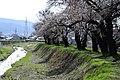 横河川桜2 - panoramio.jpg