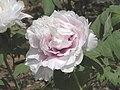 牡丹-薔薇型 Paeonia suffruticosa Rose-series -洛陽王城公園 Luoyang, China- (9227115597).jpg
