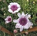 異葉藍雛菊 Felicia heterophylla -上海國際花展 Shanghai International Flower Show- (17168171739).jpg