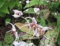 粗毛淫羊藿 Epimedium acuminatum -比利時 Ghent University Botanical Garden, Belgium- (9190632721).jpg