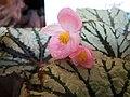 蛤蟆秋海棠 Begonia rex Fedor -香港公園 Hong Kong Park- (24641397678).jpg