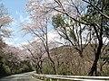 赤穂御崎の桜 - panoramio.jpg