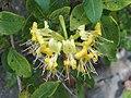 香忍冬 Lonicera periclymenum -英格蘭 Brockhole, England- (9213308837).jpg