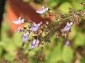 香茶菜 Isodon amethystoides -香港西貢獅子會自然教育中心 Saikung, Hong Kong- (9198182973).jpg