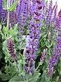 鼠尾草屬 Salvia × superba -波蘭 Krakow Jagiellonian University Botanic Garden, Poland- (36467222150).jpg