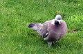 -2019-02-12 Wood pigeon (Columba palumbus), Trimingham (3).JPG