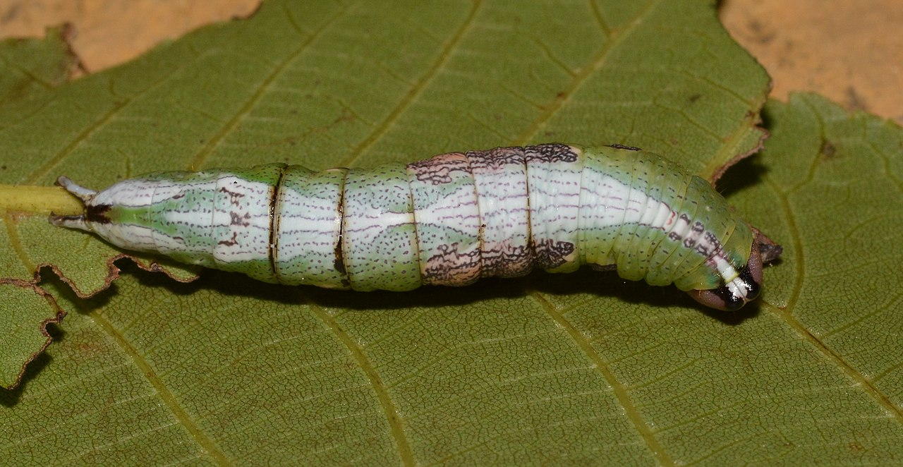 Wavy-lined Heterocampa Moth Caterpillar