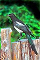 003 Black-billed Magpie, Santa Fe.jpg