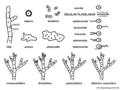 01 03 estructuras celulares de hongos y algas (M. Piepenbring).png