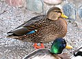 027 - MALLARD (Northern x Mexican hybrid male) (12-5-2016) farmington, san juan co, new mexico -b(2) (31574073022).jpg
