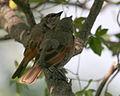 060328 baywing chicks CN.jpg