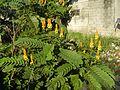 07875jfSenna alata flowers Cassia alata L. ringworm bush Philippinesfvf 06.jpg
