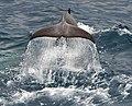 091201 south georgia orca 5018 (4172632051).jpg
