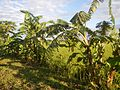 09705jfVillages Makinabang Highway Baliuag Bulacan Paddy fields Roadsfvf 13.jpg