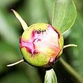 104 105 Peony Bud With Ant (156798523).jpeg