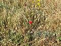 11 מפרץ הצדפים , שמורת חוף דור-הבונים פרחים.jpg