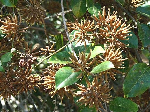 Unacaria guianensis