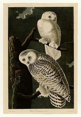 Snowy owl - Plate 121 of The Birds of America by John James Audubon. Male (top) and female (bottom)