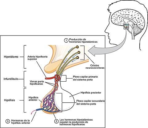 hormonas que regulan el apetito