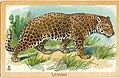 1909-Leopardo.jpg
