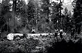 """1923. Burning to control western pine beetle. The end of the log says, """"250 Years Old Killed by Beetle in One Year"""". Southern Oregon Northern California cooperative control project. (33450966922).jpg"""