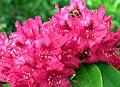20050521090DR Kromlau (Gablenz-K) Rhododendronpark.jpg