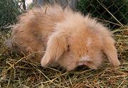 Le lapin nain de variété «teddy» n'est pas encore une variété génétiquement stabilisée.