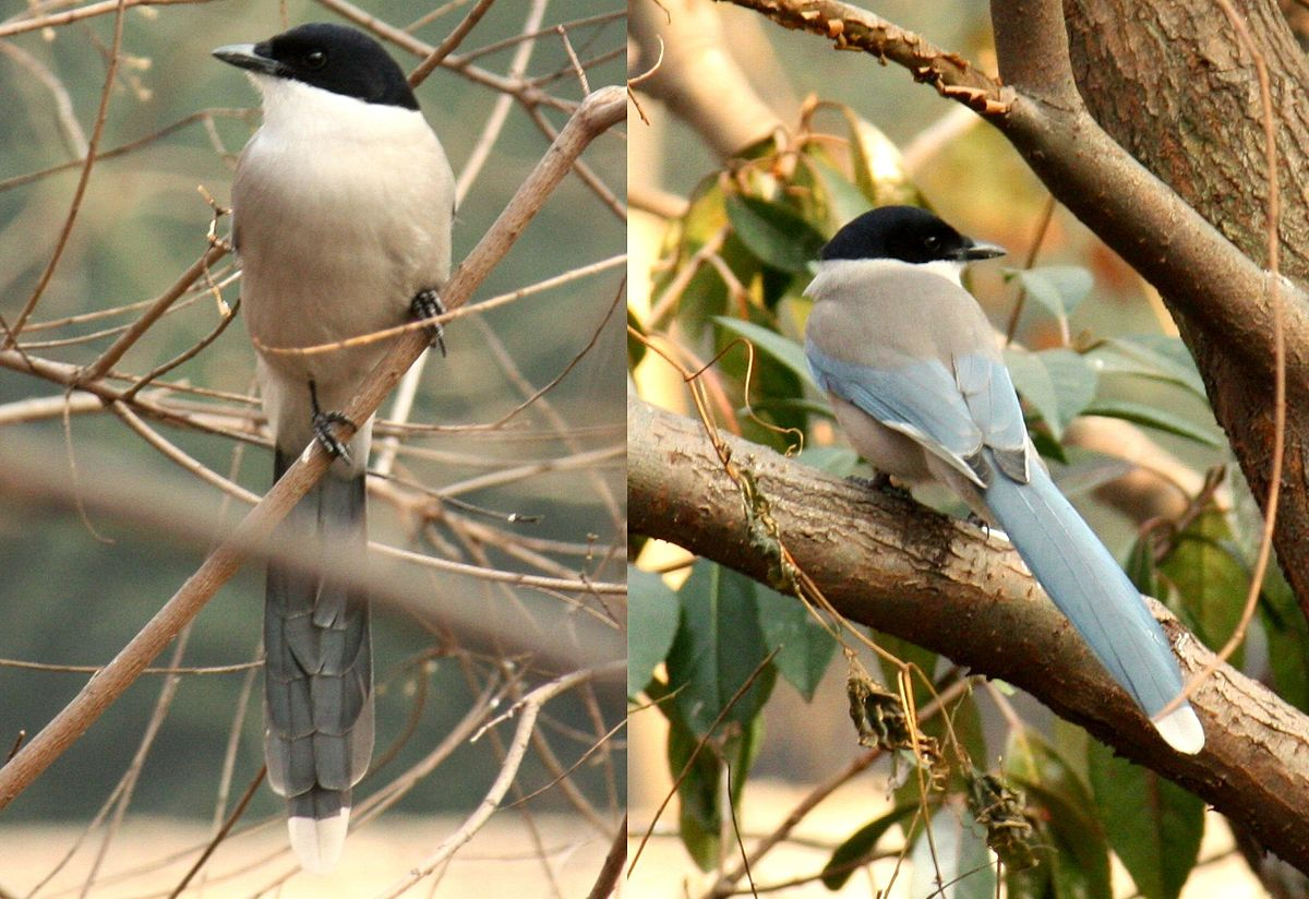 Azure Winged Magpie Wikipedia