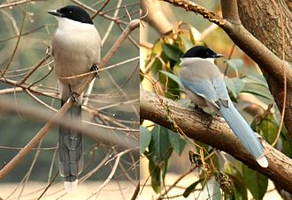 Azure-winged magpie - Image: 2011 Blauelster in Shanghai