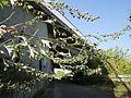 20120819Artemisia vulgaris2.jpg
