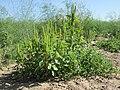 20120906Amaranthus retroflexus3.jpg