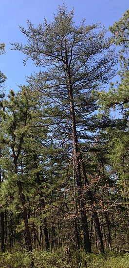 2013-05-10 11 01 36 Virginia Pine along the Mount Misery Trail in Brendan T. Byrne State Forest, New Jersey.jpg