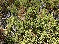 2013-06-27 08 53 56 Closeup of Utah Juniper foliage on the slopes of Spruce Mountain, Nevada.jpg