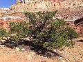 2013-09-23 14 39 34 Pinus edulis along Capitol Reef Scenic Drive 5.1 miles from Utah State Route 24.JPG